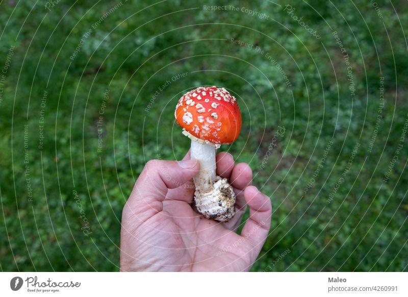 Amanita-Pilz in den Händen eines Pilzsammlers Lebensmittel Wald Natur amanita Herbst frisch natürlich Kommissionierer wild organisch Fliegenpilz Saison Holz