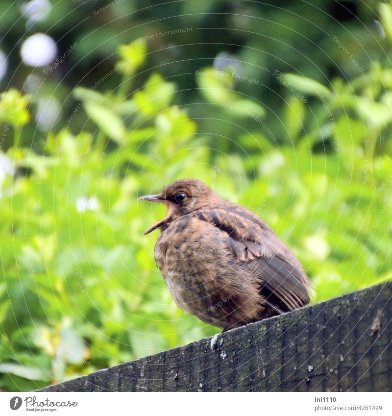 Jungvogel mit weit aufgerissenem Schnabel sitzt auf der Pergola Gartenvogel Amsel Drossel Vogelarten Singvögel Gefieder Aufzucht Hunger rufen Nahrung füttern