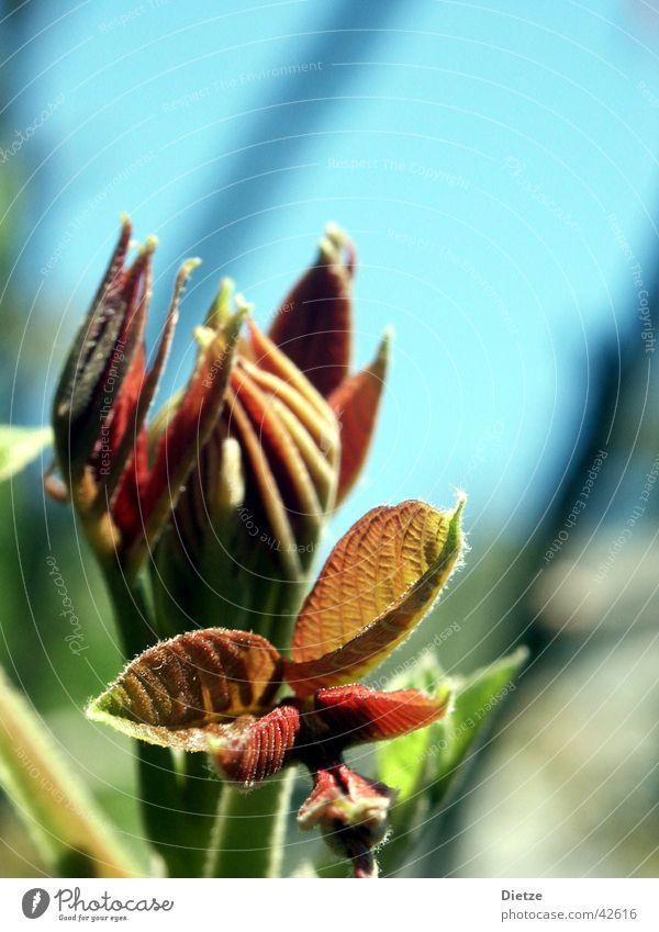 Entfaltung rot Blatt Frühling Blütenknospen