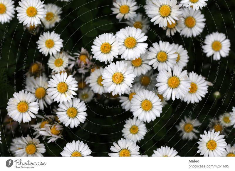 Schöne weiße Gänseblümchen aus einer Höhe geschossen Schönheit Camping Tag Eukaryota erkunden Feld Blume Wald Garten grün Freude lernen Leben Liebe