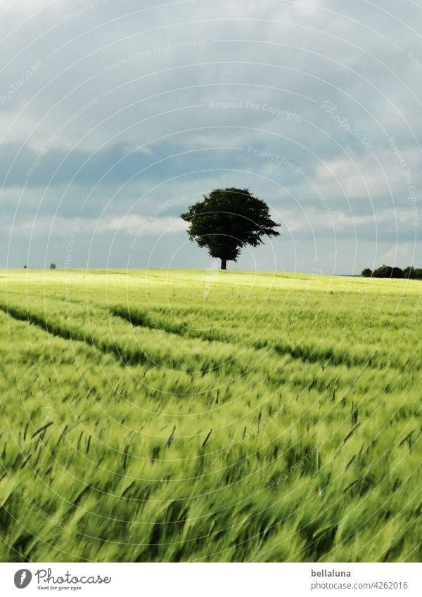Ein Baum im Kornfeld, der steht immer frei, denn es ist Sommer... Natur Himmel Landschaft Feld Menschenleer grün Schönes Wetter Pflanze Getreide Getreidefeld