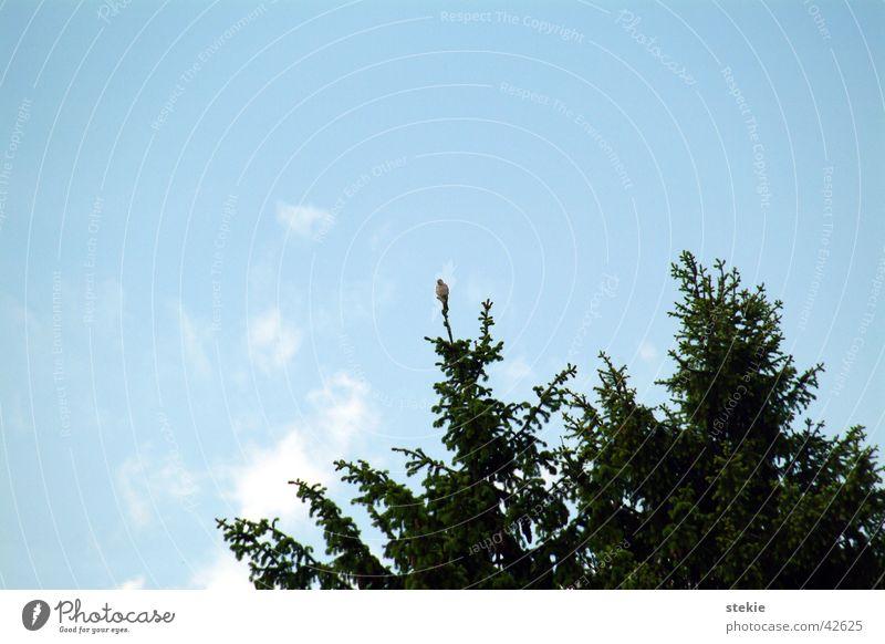 Herr des Himmels Himmel klein fliegen hoch beobachten Tanne Stolz