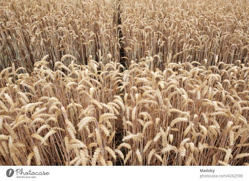 Aufgeteiltes Getreidefeld in Naturfarben im Sommer in Oerlinghausen bei Bielefeld am Teutoburger Wald in Ostwestfalen-Lippe Weizen Weizenfeld Ackerbau