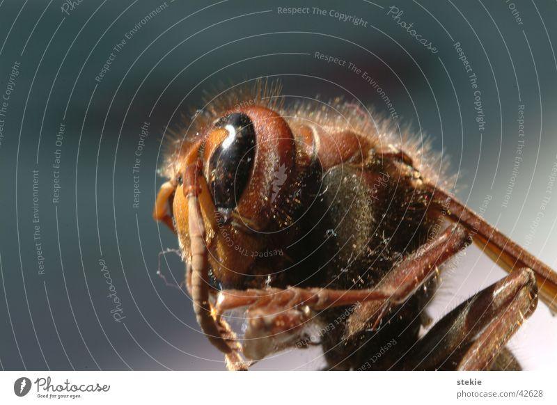 Wespe Auge Haare & Frisuren fliegen gefährlich Insekt Biene Fühler stechen Wespen