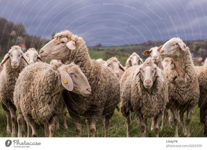 Auf der Weide stehende Schafe Schafherde Natur Tiere Herde Wiese Tiergruppe Wolle Schafwolle Farbfoto Außenaufnahme idyllisch Nutztiere lammfromm natürlich