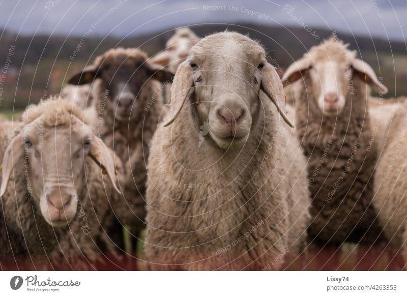 4 nebeneinander stehende Schafe auf der Weide Schafherde Natur Tiere Herde Wiese Tiergruppe Wolle Schafwolle Farbfoto Außenaufnahme idyllisch Nutztiere
