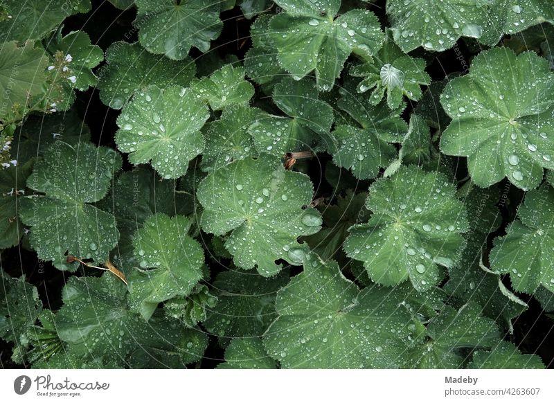 Wassertropfen auf großen grünen Blättern eines Strauch in einem Bauerngarten im Sommer in Rudersau bei Rottenbuch im Kreis Weilheim-Schongau in Oberbayern Blatt
