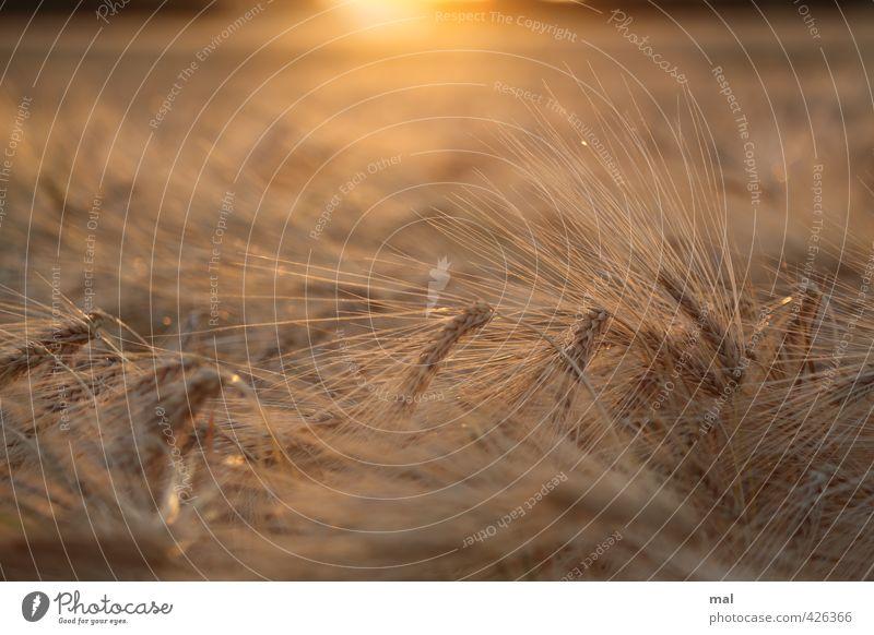 habe die ähre - hordeum vulgare Natur schön Pflanze Sommer Sonne rot Landschaft schwarz gelb Wärme natürlich braun Feld gold Zufriedenheit Wachstum