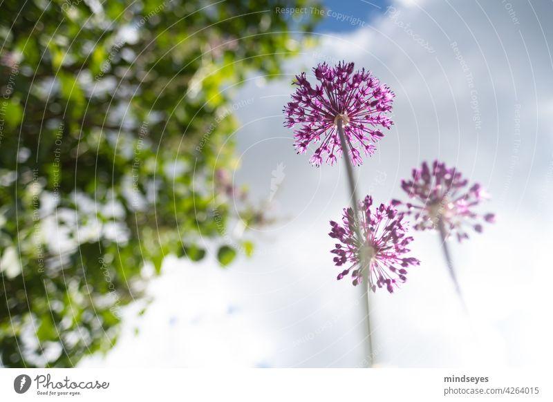 Allium von unten weitwinkel Allium giganteum alliums Natur Wolken Wolkenhimmel Blume Garten Gartenarbeit Perspektive purpur violette Blumen Blühend Pflanze