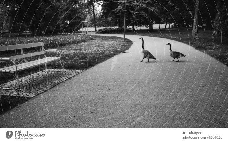Zwei Gänse spazieren im Park Gans Tiere Parkbank Schwarzweißfoto spazierengehen Garten Außenaufnahme Bank ruhig Menschenleer Natur Schatten Entspannung Kurpark