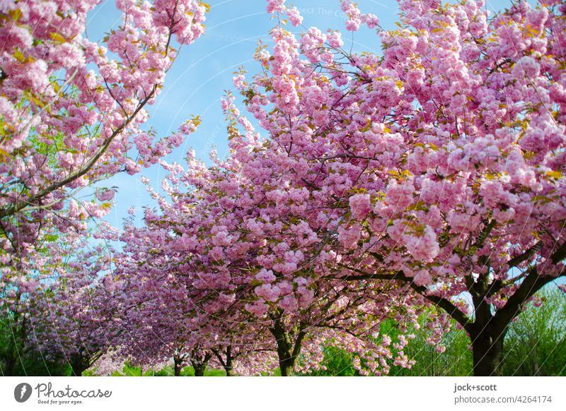Japanische Kirschbäume in ihrer Blütezeit Kirschbaum Kirschblüten Frühling harmonisch Blühend ästhetisch Kitsch Inspiration Frühblüher Wachstum üppig (Wuchs)