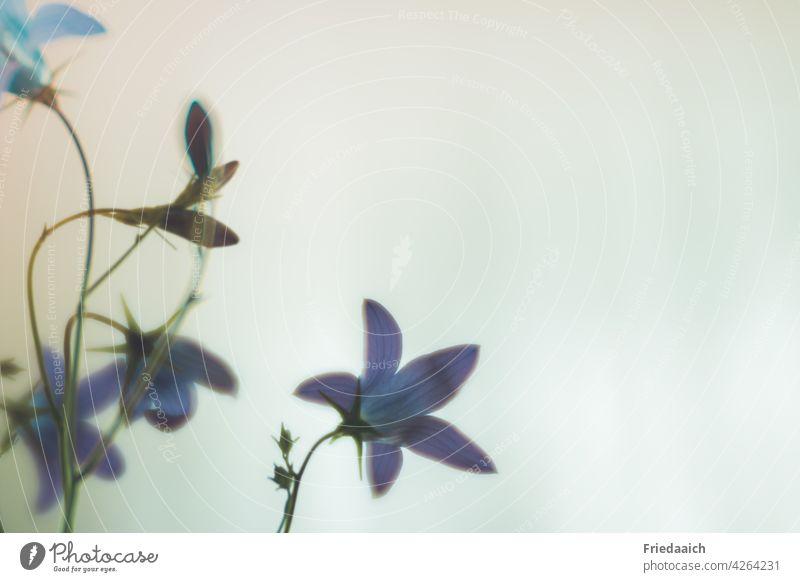 Blaue Glockenblume Detailansicht vor neutralem Hintergrund Blume Wiesenblume Detailaufnahme minimalistisch weißer Hintergrund Blüte Farbfoto Nahaufnahme Pflanze