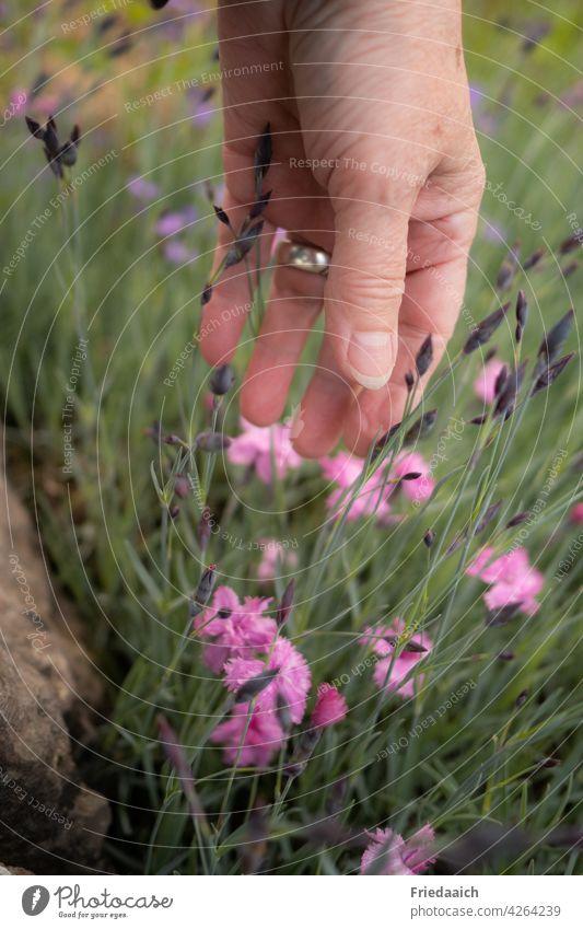 Hand an rosa Bartnelken im Blumenbeet Garten Blumenliebe Natur Naturliebe Blühend Sommer freizeit Pflanze Außenaufnahme Farbfoto schön Umwelt Tag grün