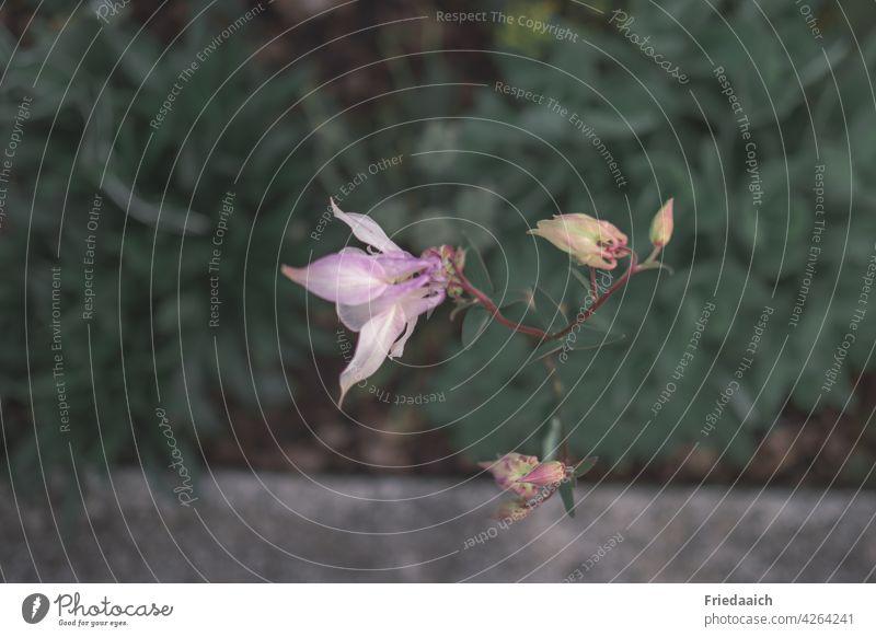 Rosa Akelei-Blüte an einer Mauer und dunkle Blätter im Hintergrund Blume rosa Natur Nahaufnahme Garten Sommer natürlich Außenaufnahme Schwache Tiefenschärfe