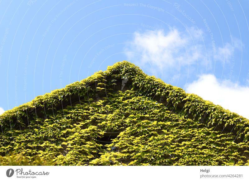 Wohnen im Grünen - mit wildem Wein bewachsener Hausgiebel vor blauem Himmel mit Wölkchen Wohnhaus Bewuchs Hausbegrünung Giebel Fassade Außenaufnahme Wilder Wein