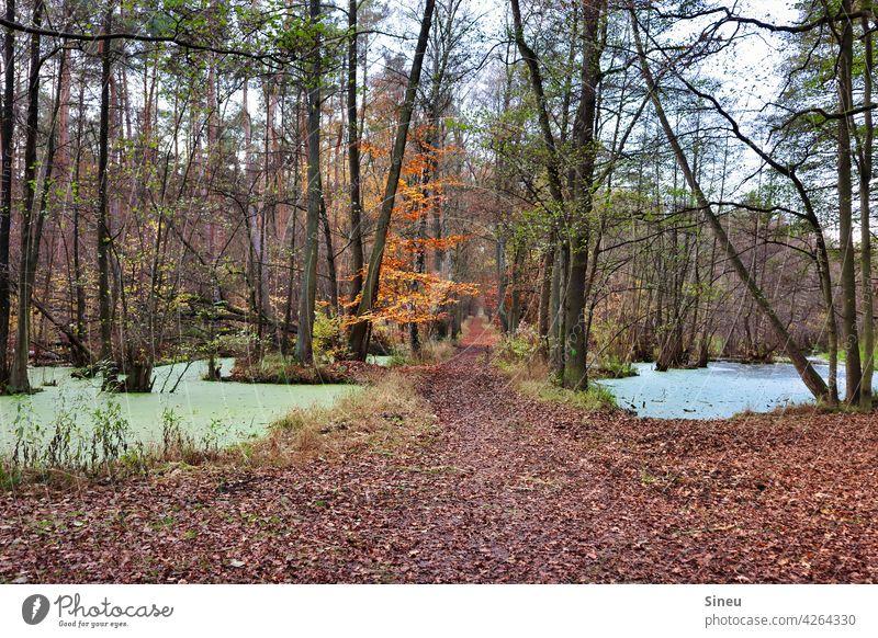 Waldweg durch den Fließ Waldsee Baum Bäume Blätter Natur Laub Herbst Herbstlaub Herbstfarben Herbstfärbung herbstlich Herbstwald Herbstbeginn Herbstwetter