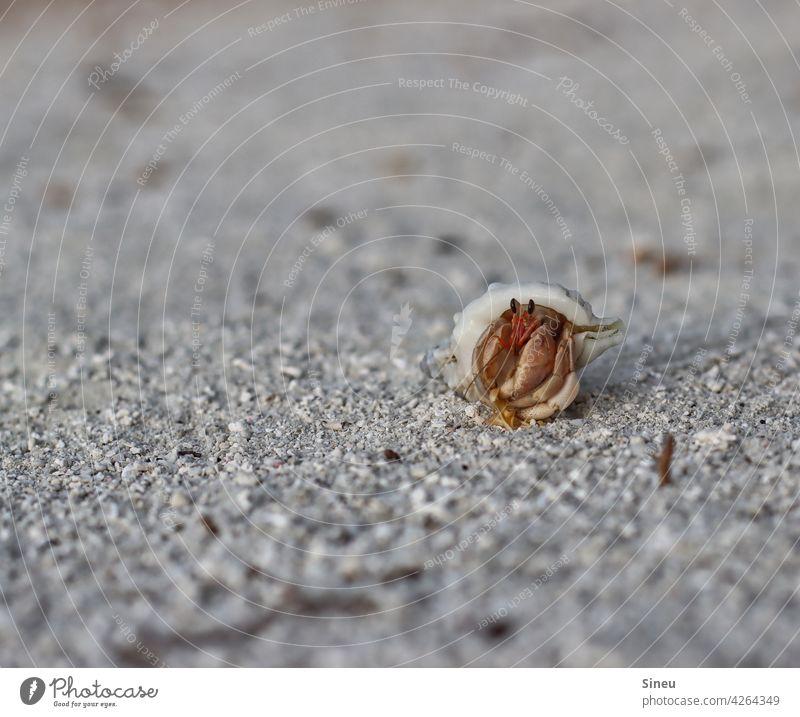 Landeinsiedlerkrebs Strand Sand Krabbe Muschel Fauna Strandkrabbe Schalentier Krebs Tier Farbfoto Nahaufnahme Außenaufnahme Natur Meer Ferien & Urlaub & Reisen