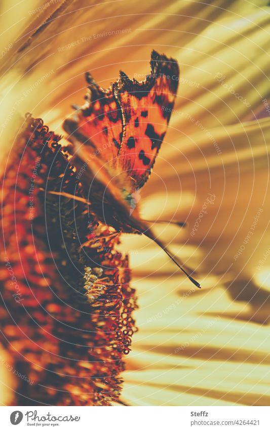 C-Falter auf einer Sonnenblume genießt die Sonnenwärme Polygonia c-album Waldfalter Schmetterling Sommergefühl schönes Wetter Edelfalter Sommerblume
