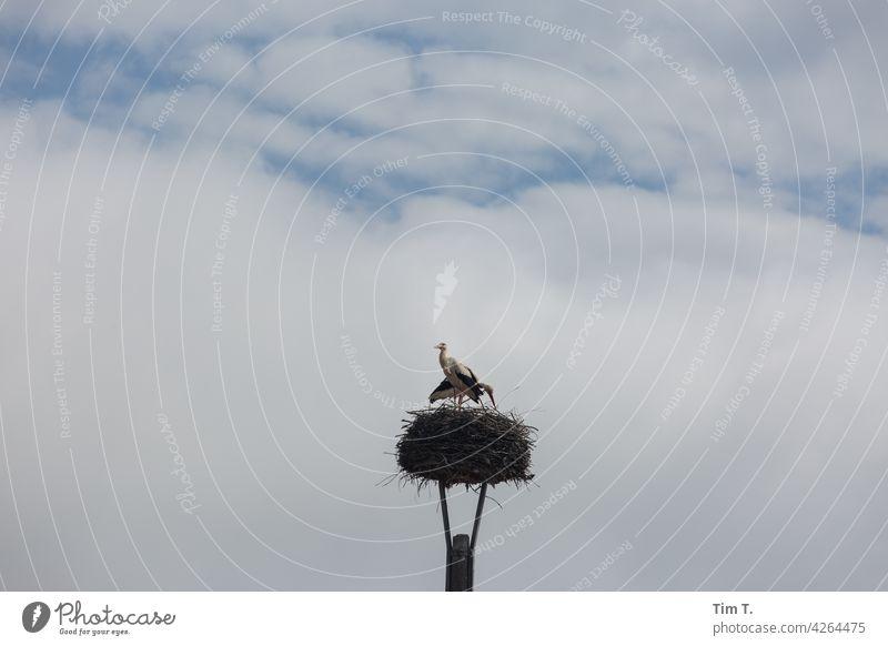 ein Storchennest irgendwo in Brandenburg Dorf stork Vogel Himmel Tier Außenaufnahme Wildtier Farbfoto Natur Tag Menschenleer Umwelt Paar Schönes Wetter
