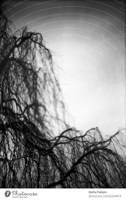 Äste analog Analogfoto sw Schwarzweißfoto schwarzweiß Baum Ast Geäst Unschärfe Anschnitt Diagonale Natur Himmel Linie Flora