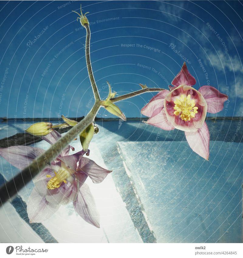 Aquilegia Akelei Blüte Natur Garten Himmel Außenaufnahme Nahaufnahme Blume Frühling Farbfoto Frühlingsgefühle Vergänglichkeit weiß Menschenleer Schönes Wetter