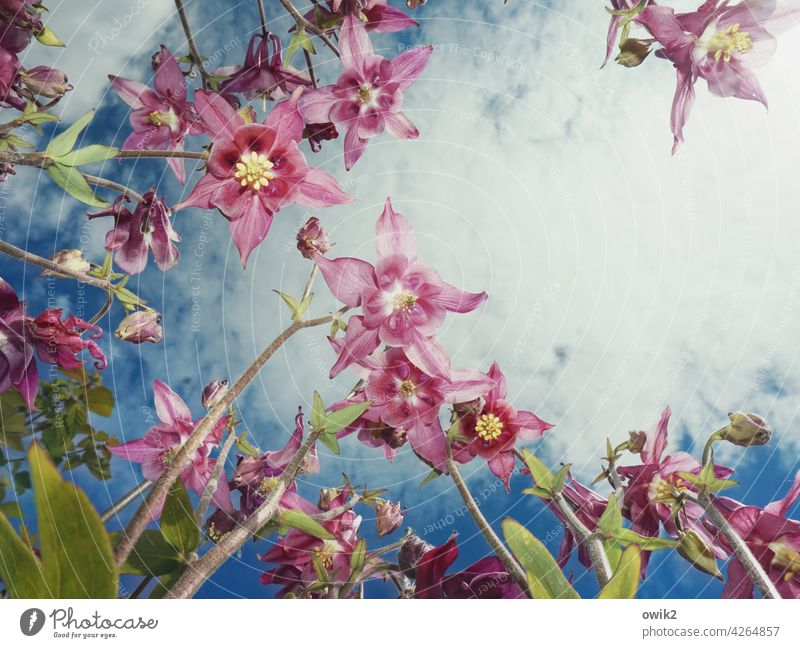 Blumenstrauß Akelei Pflanze Frühlingsblume anmutig dünn zerbrechlich Stengel Froschperspektive Blick nach oben elegant filigran Blütenstempel Blütenkelch zart