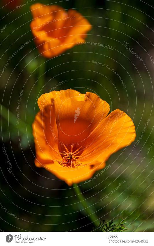 Zwei Blüten Kalifornischer Mohn leuchtend Organge Natur schwache Schärfentiefe unschärfe Pflanze Mohnblüte Blume Sommer Außenaufnahme Blühend Schlafmützchen