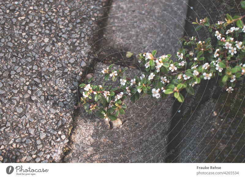 Zwergmispel mit zarten rosa Blüten auf dem Weg zur Straße grün Zweig Bordsteinkante Asphalt Kontrast Stein Bürgersteig hart Sonnenlicht Natur Stadt