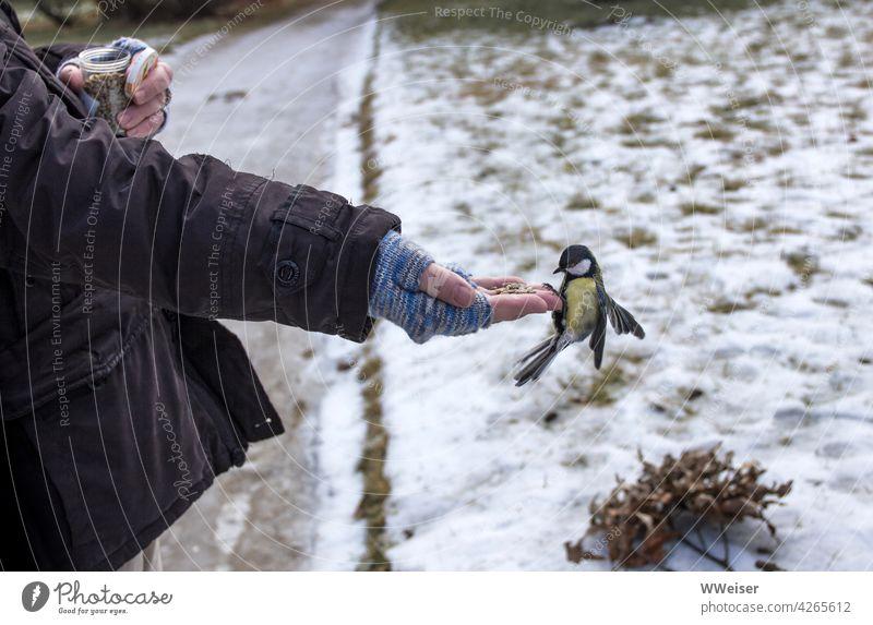 Eine hungrige Meise landet im Winter auf der behandschuhten Hand und holt sich ein paar Körner ab Vogel Kohlmeise füttern Futter geben anbieten helfen Hunger