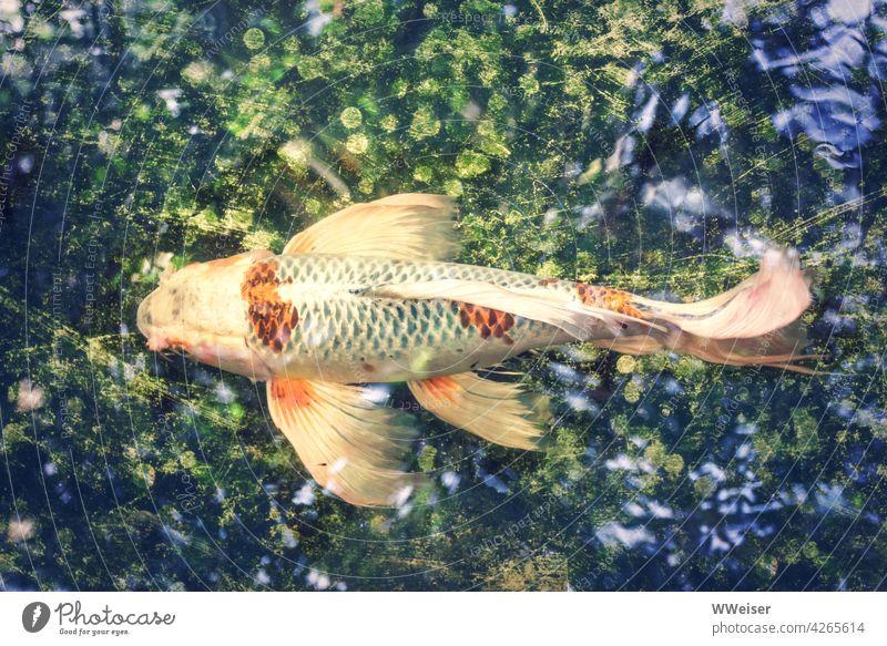 Der farbenfrohe Fisch schwimmt durch ein schimmerndes Wasser-Universum Zierfisch Goldfisch golden farbig bunt Koi Karpfen Flossen Schwanz elegant märchenhaft