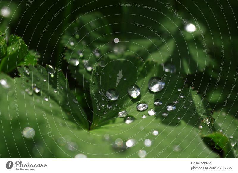Wasserperlen Regentropfen Blätter Natur Blatt Tropfen grün Wassertropfen Nahaufnahme Makroaufnahme Pflanze Außenaufnahme Detailaufnahme Farbfoto frisch