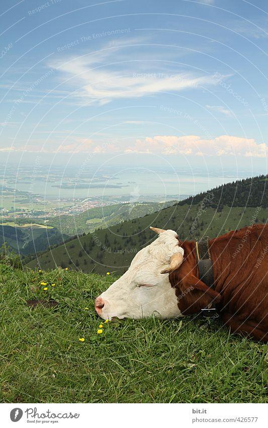 AST6 Inntal | Muh und Augen zu Himmel Natur Landschaft Wolken Tier Berge u. Gebirge Umwelt Wiese Aussicht schlafen Gipfel Pause Hügel Landwirtschaft Alpen