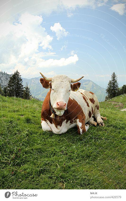Tier | A(l)bliegen Umwelt Natur Landschaft Schönes Wetter Felsen Alpen Berge u. Gebirge Gipfel Kuh 1 Rind Rinderhaltung Agrarprodukt Bioprodukte