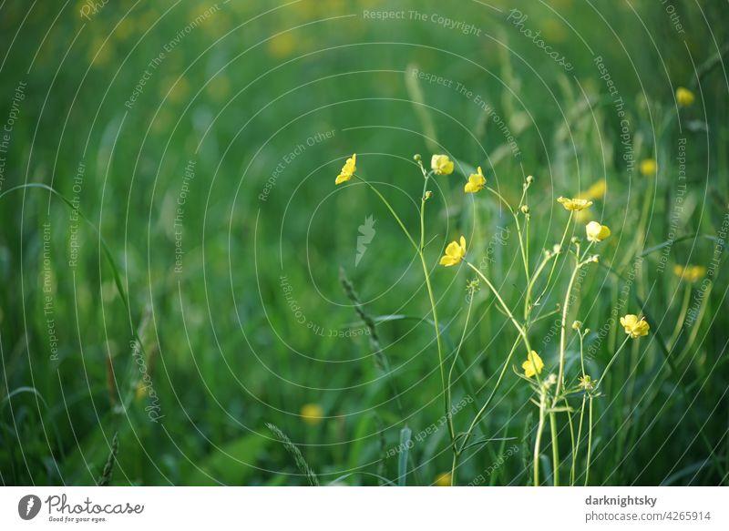 Blumenwiese mit grünen, frischen Gräsern und gelb blühendem Hahnenfuß (Ranunculus) Frühling romantisch geblümt flache Verlegung Blumenhändler Textfreiraum Wiese