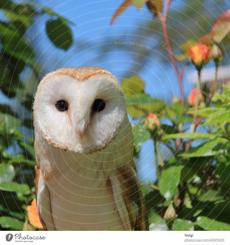 Schleiereule ... Eule Vogel herzförmiges Gesicht nachtaktiv Falknerei Nahaufnahme Greifvogel Tier Natur Menschenleer Außenaufnahme Farbfoto Jäger Raubtier