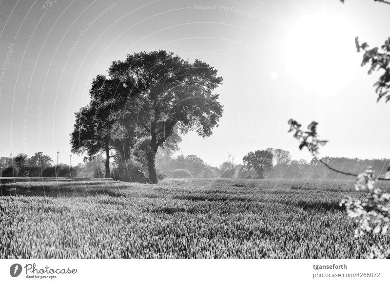 Tief stehende Sonne bescheint einige Bäume Abend Außenaufnahme Getreidefeld Schwarzweißfoto Lichteinfall Lichtschein Baum Eichen Emsland LAndschaft Gegenlicht
