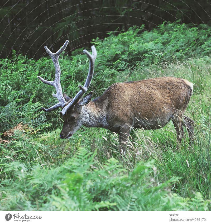 freilebender Hirsch in Schottland Rothirsch Edelhirsch Rotwild Geweih Idylle Wildtier Ruhe Freiheit idyllisch ländlich natürlich grün ruhig grüne Landschaft