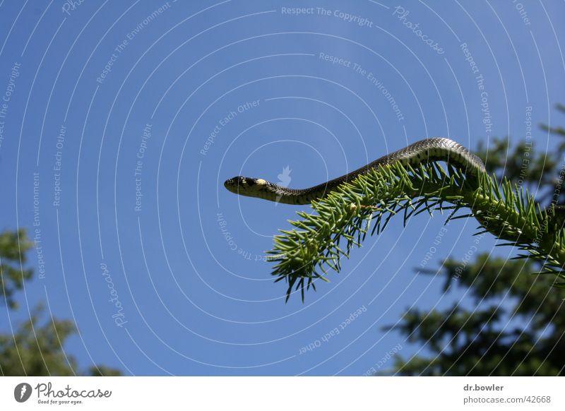 Snake_on_tree Klettern Schlange Nadelbaum Fichte Ringelnatter