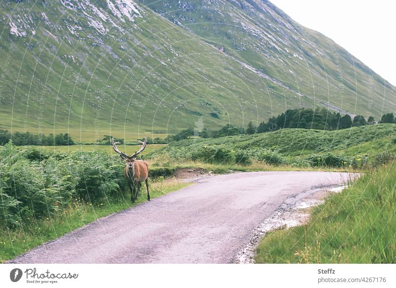 Willkommen in Schottland Hirsch Weg frei ländlich Begegnung Ruhe Rothirsch Rotwild Edelhirsch Geweih Idylle freilebend Wildtier Freiheit idyllisch grüne Hügel