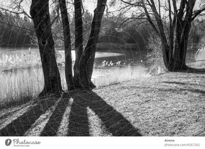 gebündelte Bäume Baum Baumstamm Schatten Schattenwurf Schlagschatten Ufer Seeufer Schilf Winter Eis zugefroren Sonnenlicht schönes Wetter Gegenlicht Stille