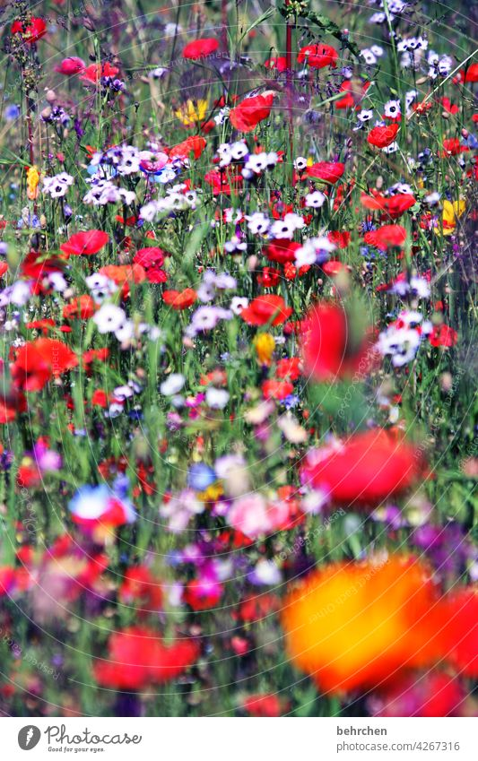 last arbeitsmo(h)nday... Blumenwiese Feld Sommer prächtig leuchtend Farbfoto rot Mohnblüte Außenaufnahme Mohnfeld grün wunderschön Sonnenlicht Blütenblatt