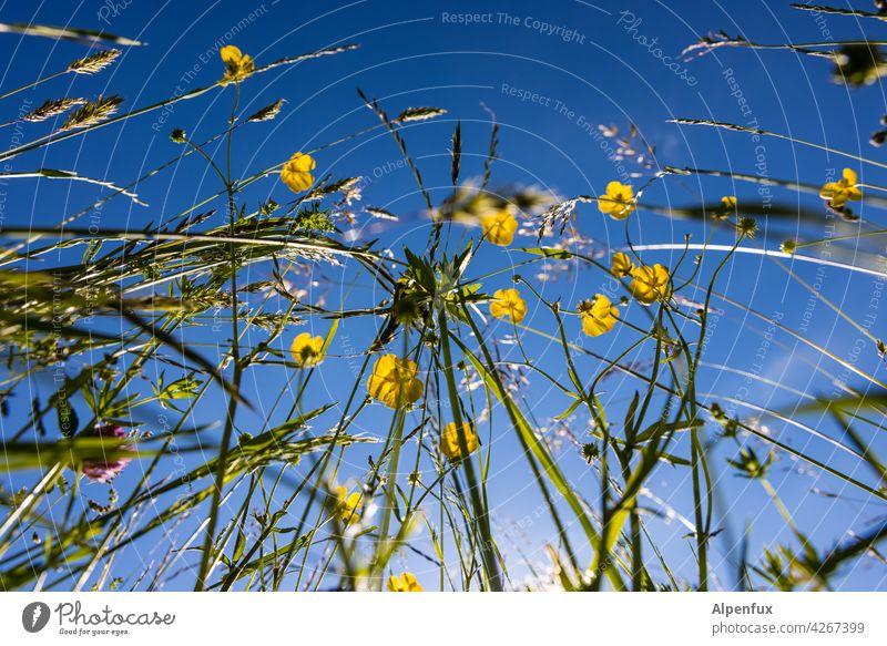 Allergiker Alptraum Wiese Wiesenblume Blume Blüte Sommer Blumenwiese Frühling Außenaufnahme Farbfoto Natur Menschenleer Blühend Pflanze Garten grün Gras