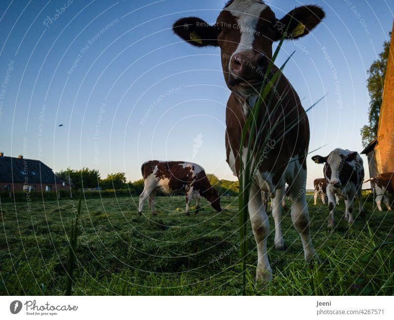 Neugierige Kuh neugierig Neugierde beobachten Blick Porträt Kuhherde Weide Idylle idyllisch Dorf Dorfidylle Dorfwiese Tier Wiese Nutztier Außenaufnahme Natur