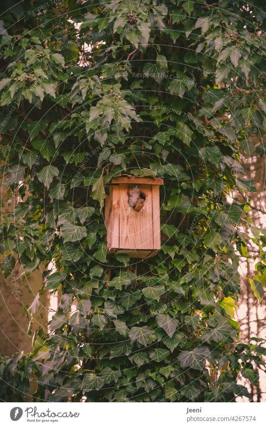 Wohnungsnot an jeder Ecke | Vogelnistkasten wird vom kleinen Eichhörnchen bewohnt, es schaut entspannt heraus zuhause Haus Vogelhaus Vogelhäuschen Holz
