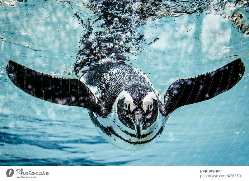 Humboldt-Pinguin im Wasser Tier Zoo Schwimmen & Baden Farbfoto Aquarium tauchen 1 Tierporträt Unterwasseraufnahme Wildtier blau Meer Natur Menschenleer exotisch
