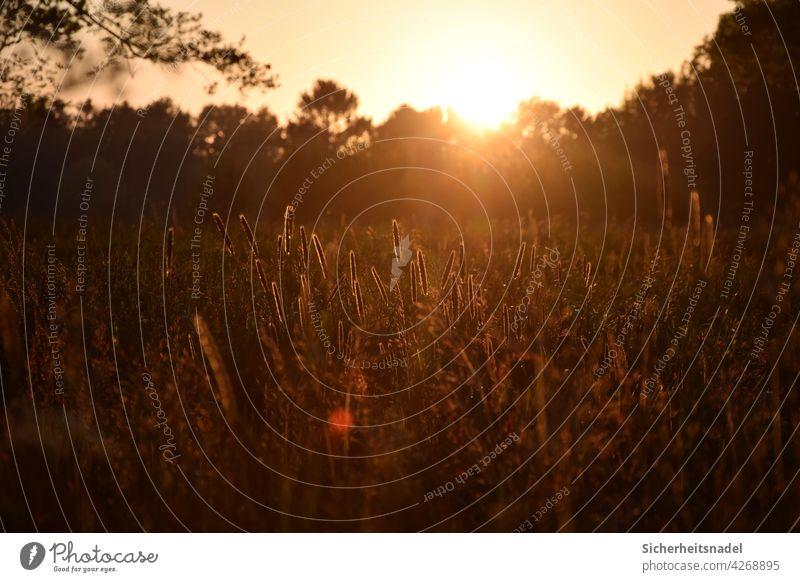 Sonnenuntergang auf dem Lande Sonnenlicht Sonnenstrahlen Landleben Gräser Außenaufnahme Gegenlicht Menschenleer Schönes Wetter Licht Abend Landschaft Natur Gras