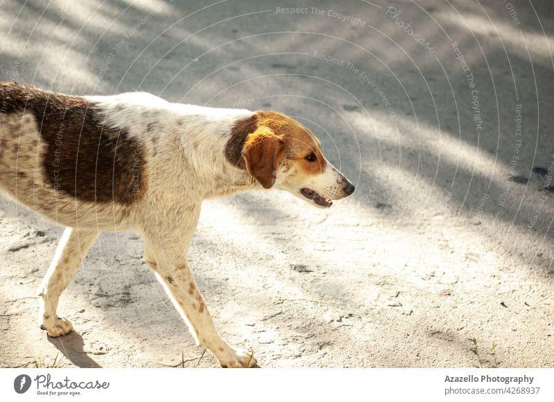 Ein weißer obdachloser Hund mit Ginges-Flecken läuft auf der Straße Ingwer rot Irrläufer Schatten Eckzahn laufen Knochen Tier ungeschützt heimatlos niedlich