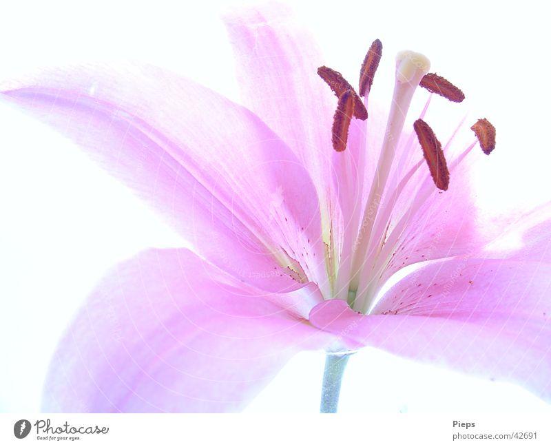 Einblick Farbfoto Innenaufnahme Nahaufnahme Hintergrund neutral schön Sommer Natur Pflanze Blume Blüte Blühend frisch rosa Glück Vergänglichkeit Lilien zart