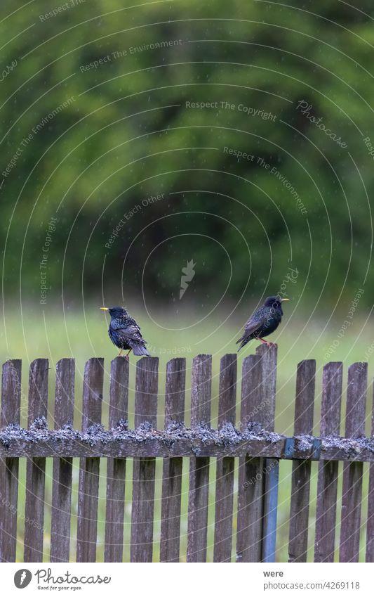 Zwei Stare sitzen im Regen auf einem mit Moos und Flechten bewachsenen Lattenzaun am Waldrand Tier Tiermotive Schnabel schwarz Schwarz und blau Federn