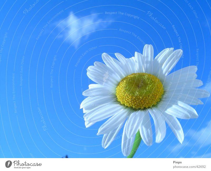 Eibenberger Schönheit Natur Himmel weiß Blume Sommer Blüte Frühling Garten Vergänglichkeit Blühend Margerite Frühlingsgefühle Juni